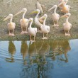 Stock Photo: Pelicans Along Shore