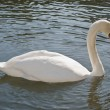 One Perfect Swan — Stock Photo #1844143