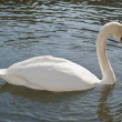 One Perfect Swan — Stock Photo