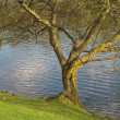 Tree Along a Lake — Stock Photo