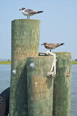 Seagulls on Pilings — Stock Photo