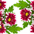 Stock Photo: Pink daisies