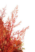Red branches of weed in autumn — Stock Photo
