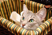 Rokerige kat op zoek nieuwsgierig — Stockfoto