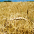 Golden wheat in field — Stock Photo
