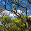Acacia tree over sky — Stock Photo