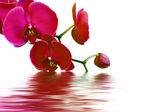 Beyaz üzerine pembe orkide — Stok fotoğraf