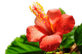 Red hibiscus blooming — Stock Photo