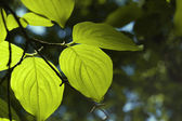 Backlit green leaves — Stock Photo