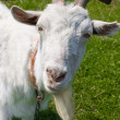 Curious white goat — Stock Photo