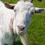 Curious white goat — Stock Photo