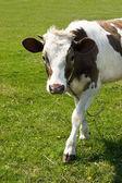 放牧牛 — 图库照片