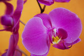 Magenta orchids — Stock Photo