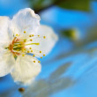 Cherry flower blossom - ストック写真