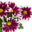 Pink daisy frame — Stock Photo #1977058