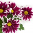 Pink daisy frame — Stock Photo
