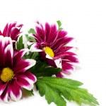 Pink daisis — Stock Photo