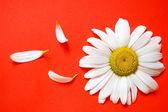 White chamomile — Stock Photo
