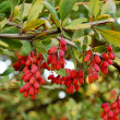 Barberry branches - Stock Photo