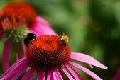 Bumblebees collecting nectar — Stock Photo