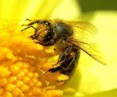 Big bee — Stock Photo
