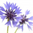 Cornflower — Stock Photo #1896121