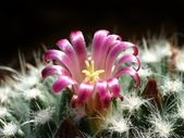 Mammilaria — Stock Photo