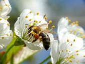 Bee in flower — Stock Photo
