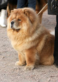 Chow-chow reddish — Stock Photo