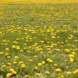 Spring field of dandelions — Stock Photo