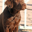 Chocolate labrador retriever puppy — Stock Photo #2031564