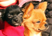 Two dogs chihuahua red and black — Stock Photo