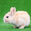 Domestic rabbit — Stock Photo