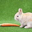 Domestic rabbit and carrot — Stock Photo