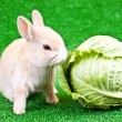 Domestic bunny and cabbage — Stock Photo