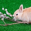 Rabbit and pussy willow — Stock Photo