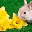 Bunny and yellow narcissus — Stock Photo #2677143