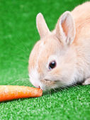 Rabbit eating carrot — Stock Photo