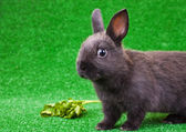 Balck domestic rabbit — Stock Photo