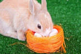 Cute domestic rabbit and easter eggs — Stock Photo