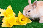 Bunny and yellow narcissus — Stock Photo