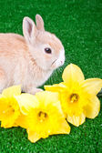 Rabbit and narcissus — Stock Photo