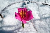 Flower and snow — Stock Photo