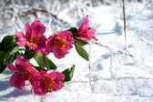 The flowers on snow — Stock Photo