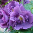 Stock Photo: Bush of violet roses