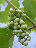 Young grapes — Stock Photo