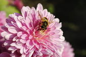 Bee on a pink flower — Stock fotografie