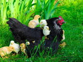 Hen — Stock Photo