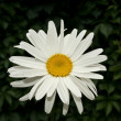 Stock Photo: Chamomile flower in garden