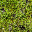 Royalty-Free Stock Photo: Green moss